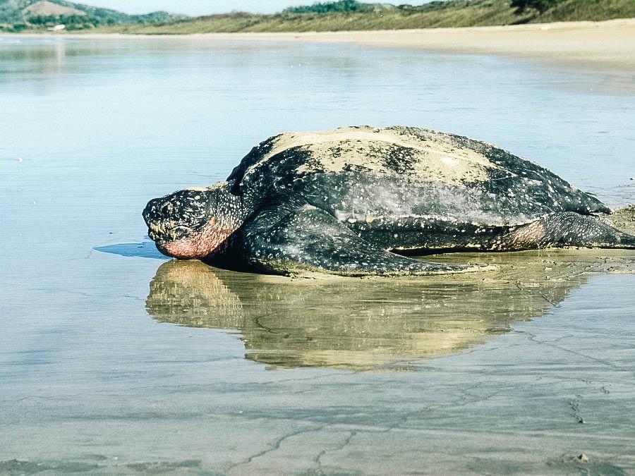leatherback sea turtle near the beach.