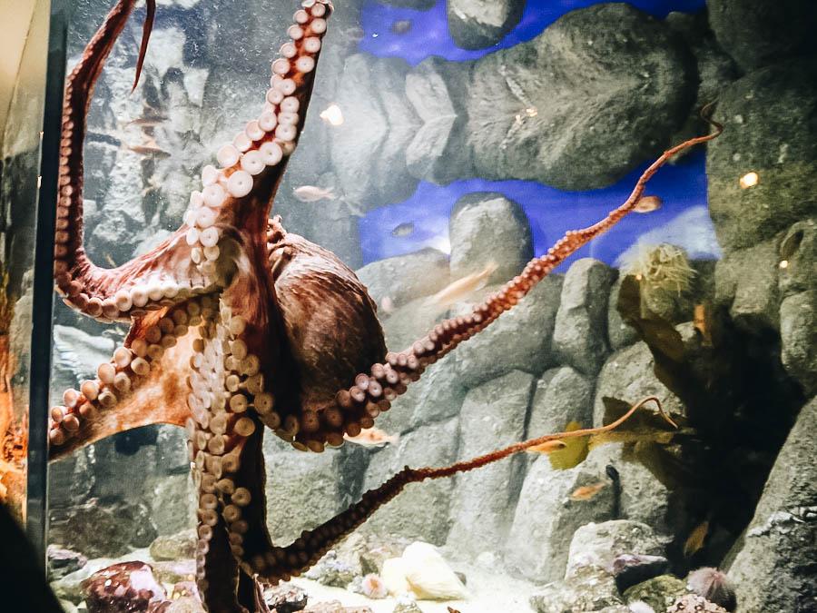 An octopus on Monterey Bay Aquarium
