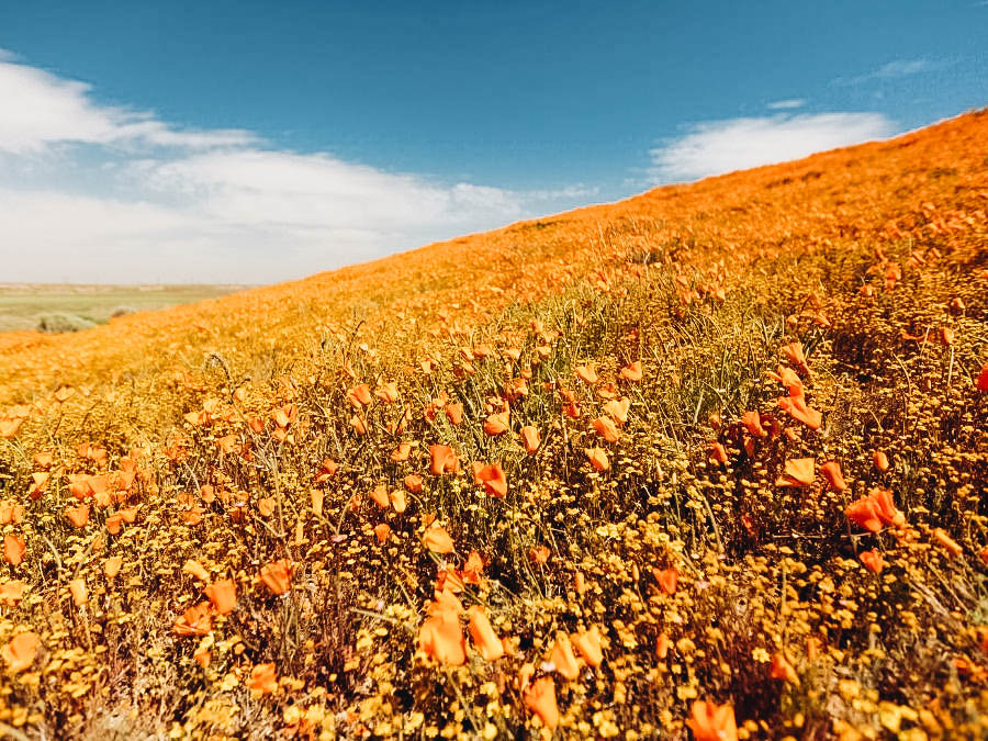 ee the Blooms In Antelope Valley California Poppy Reserve