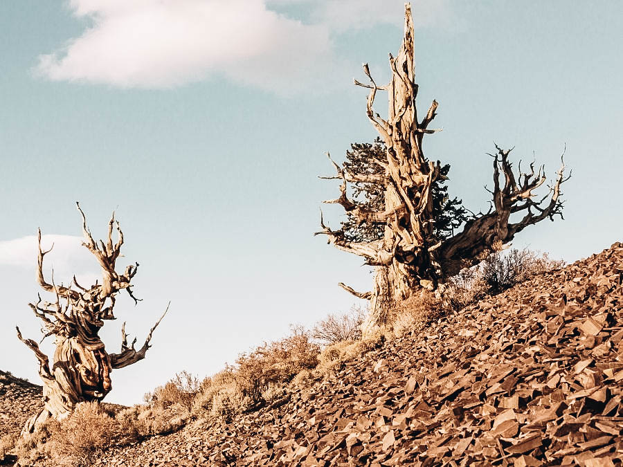 See the Oldest Tree In The World At The Bristlecone Pine Forest