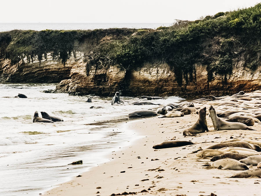 See the hundreds of Elephant Seals at Año Nuevo State Park