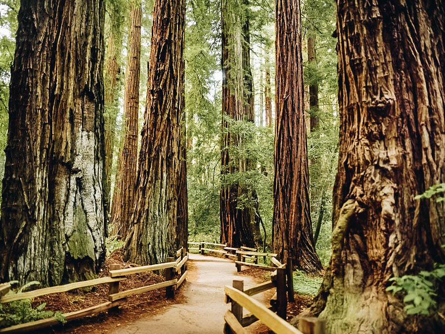 Walk Amongst the Giant Redwoods at Muir Woods