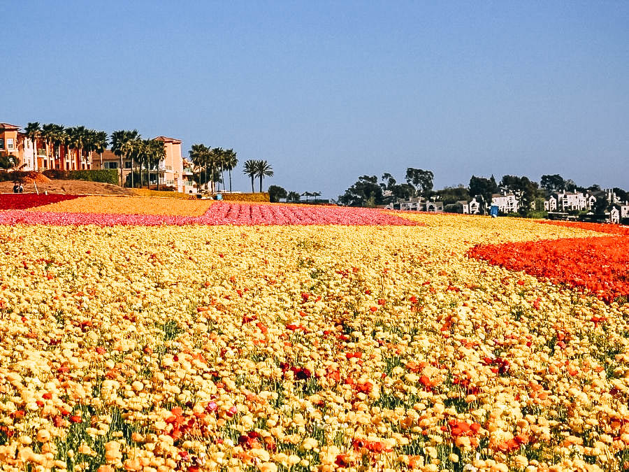 Walk through the Colorful Flower Fields in Carlsbad