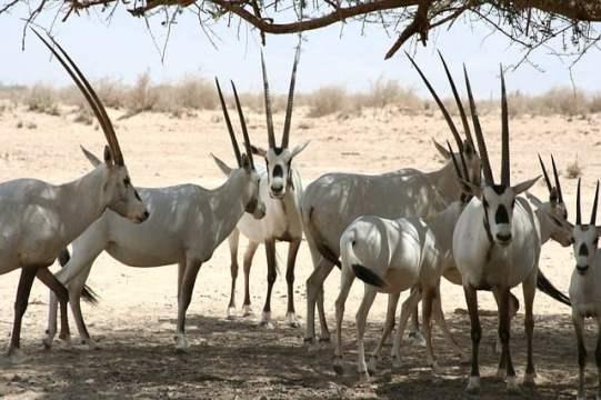 arabian-oryx-bucketlisttraveladvisors.com