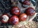 Autumn Conkers www.BuckinghamVintage.co.uk
