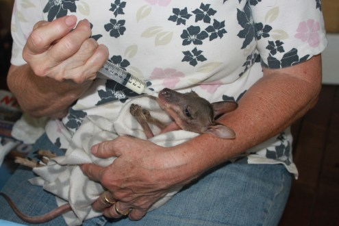Baby wallaby being syringe fed
