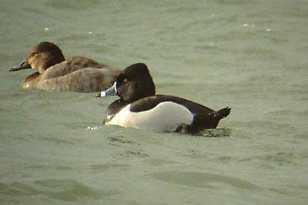 Ring-necked Duck at Foxcote Res140304redux.JPG (15553 bytes)