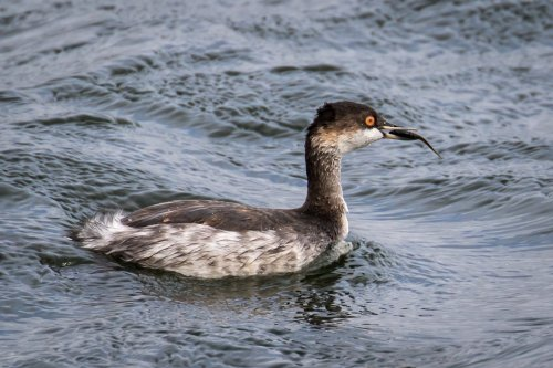 Black Necked Grebe-4-1400