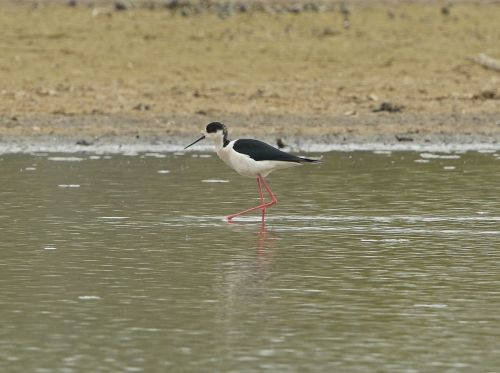 ln6a5326-black-winged-stilt-dp-1200