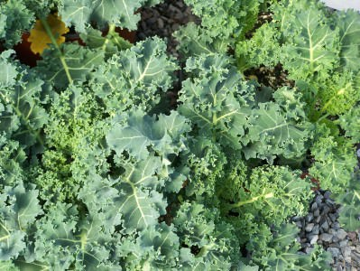 Kale from Milk House Farm Market
