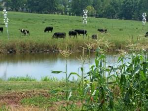 Black Angus cattle grazing