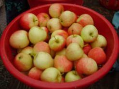 Snipes_apples