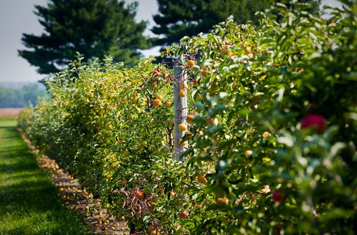 Apples growing at the Gemmill Farm; Photo courtesy Delaware Valley University