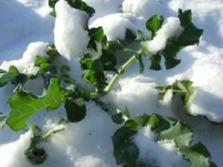 snow bound leafy greens