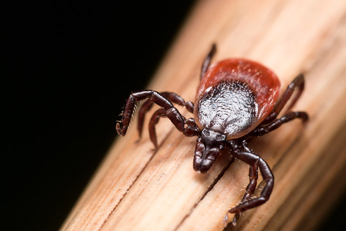 What does a deer tick look like