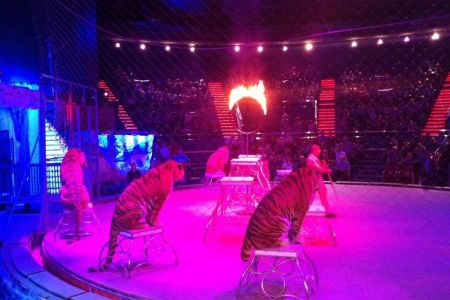 Consiliul General al Capitalei decide joi asupra eliminarii tigrilor din spectacolele circurilor din Bucuresti!