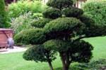 Díszfa egy budai kertben