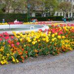 City of Budapest tulips