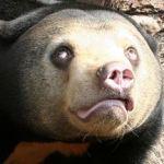 マレーグマは日本の動物園ではマスコットキャラクターではありません