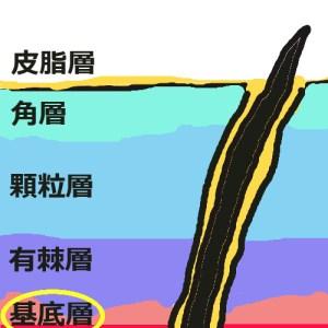 表皮構造_基底層