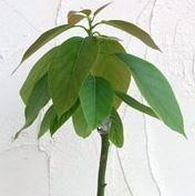 abokado1