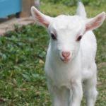 ヤギの維持費と診察してくれる動物病院の探し方