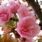 桜の花びら砂糖漬け作り方!保存期間や保存方法