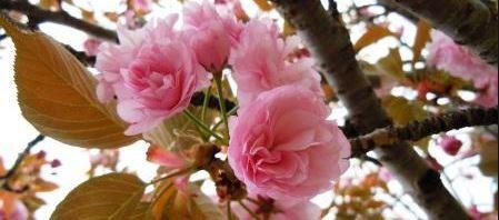 桜の花びら砂糖漬け