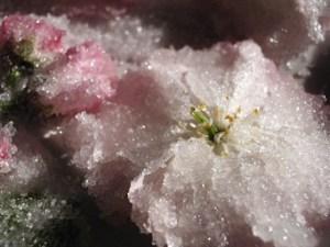 桜の花びら砂糖漬けの作り方