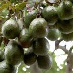 アボカド栽培の挿し木や剪定、添え木は必要?水やりの間隔