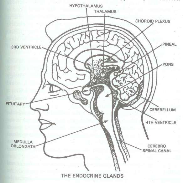 "Brain, Brainstem, Spinal Cord, Pineal and Pituitary Glands, and Ventricles where cerebrospinal fluid is produced and then distributed... our ""vision center"" is in the back of the brain"