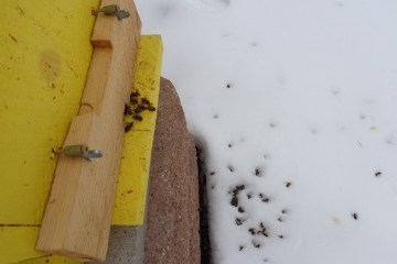 Dead bees after a cold snapl