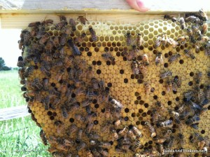 Nice brood pattern in Sarah's hive
