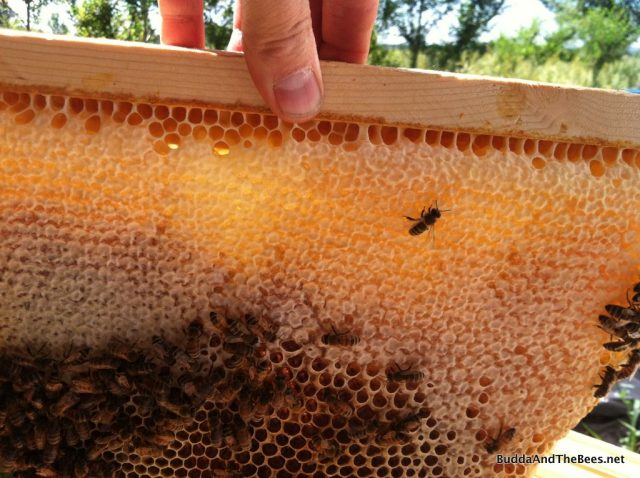 Fresh honey and comb in Sarah's hive