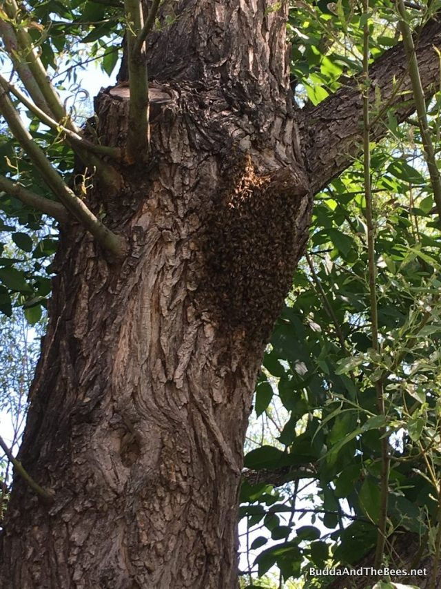 Bees on the tree - not a swarm