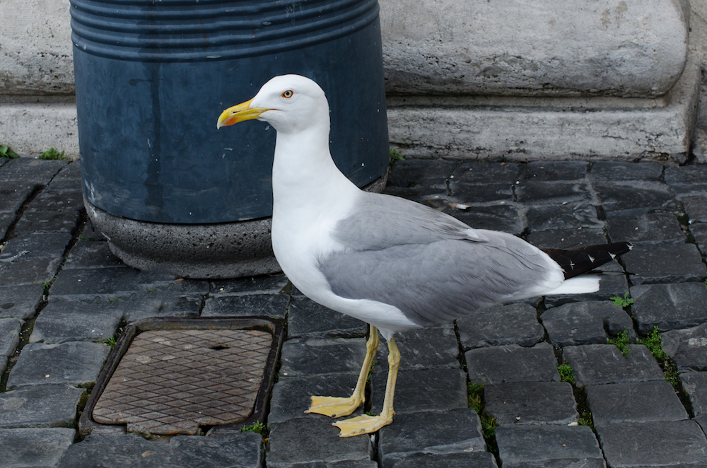 Seagull at St. Peter Basilica in Rome Italy, photo by Jenny Adams-0865