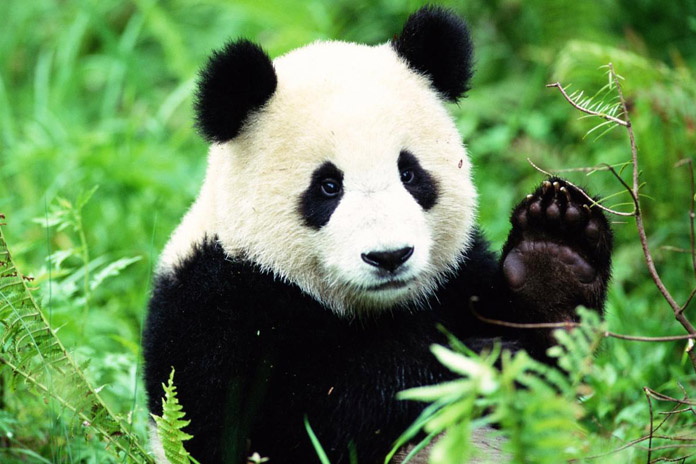 What does the Panda say?