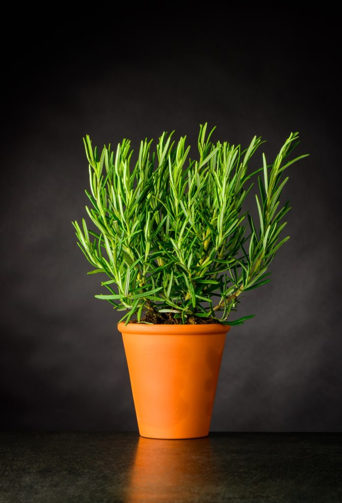 Rosemary Herb Plant Growing in Pot