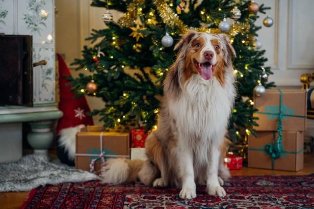 Buddy Pet Foods | 10 julklappstips till din hund | Rockybox