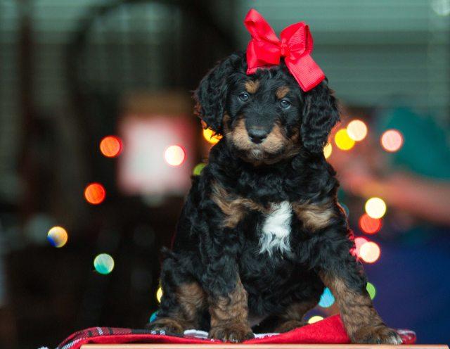 Buddy Pet Foods | 10 julklappstips till din hund | Valp jul