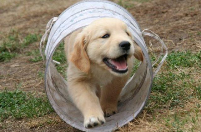golden-retriever-puppy-2706681_1920
