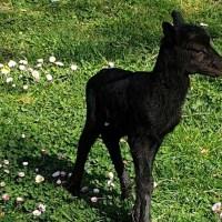 Избират с анкета име на новороденото муфлонче във варненския зоопарк