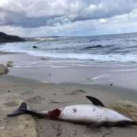 Мъртъв делфин изплува в м-ст Фичоза (снимки)