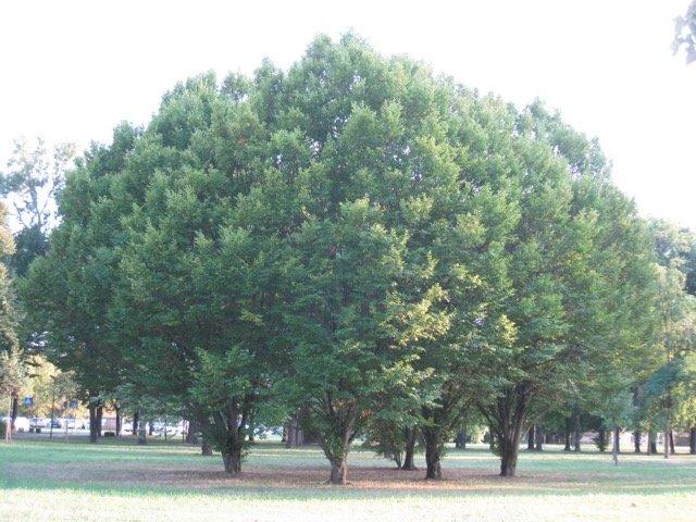 Carpino bianco: carpinus betulus