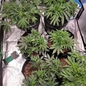 Cannabis Pic 16