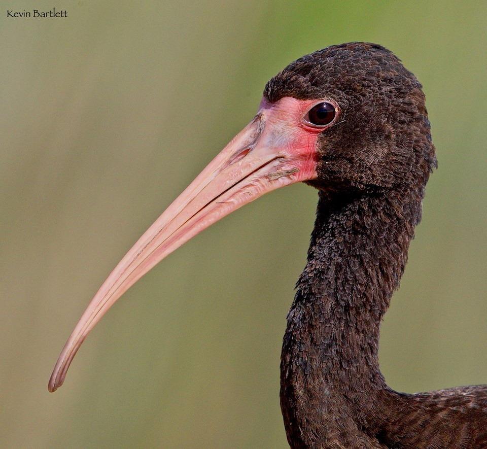 Bare-faced Ibis.