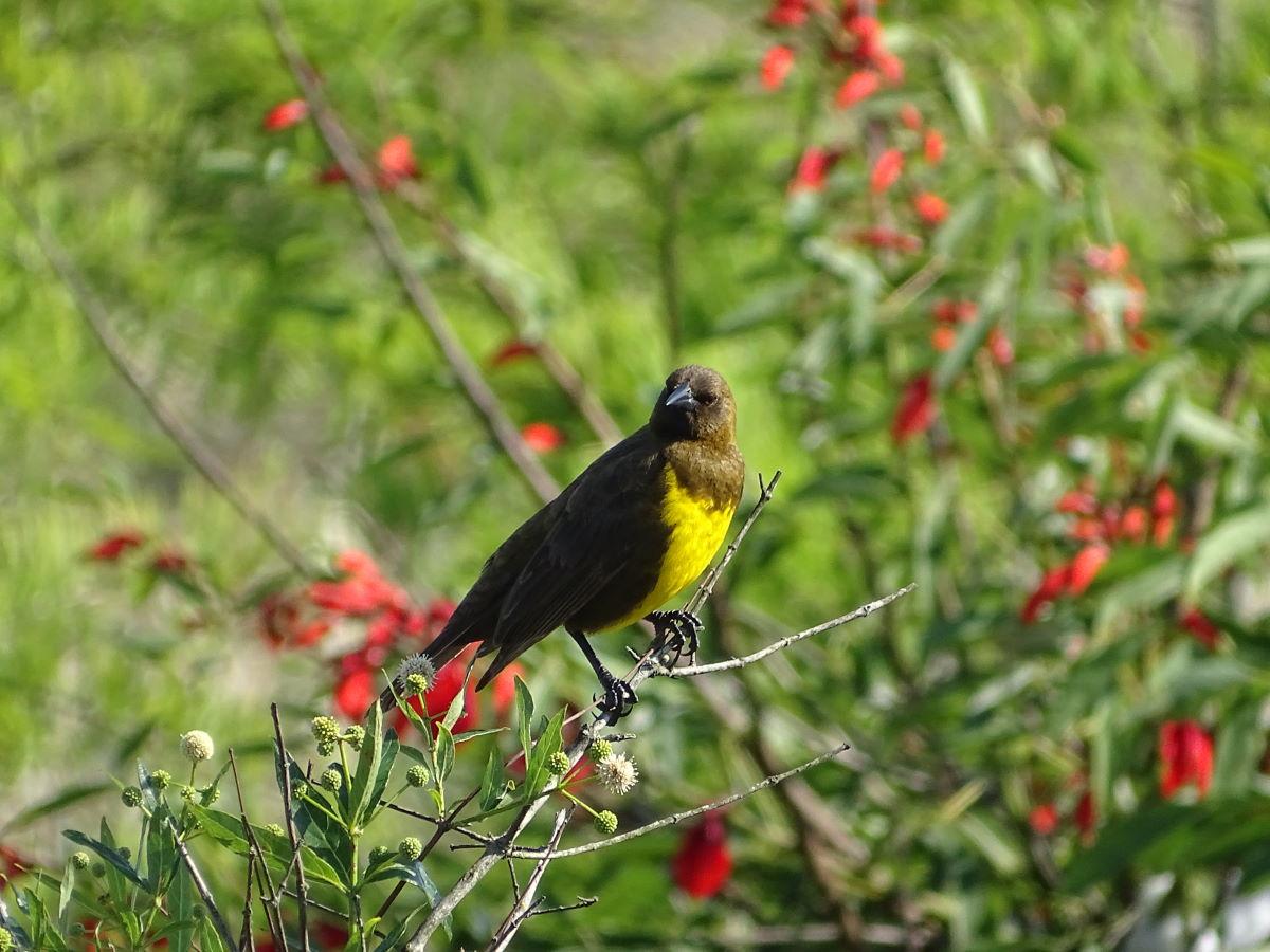 Yellow Marshbird.