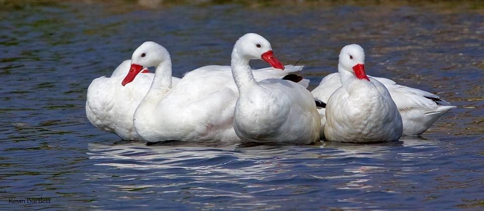 Coscoroba Swan.