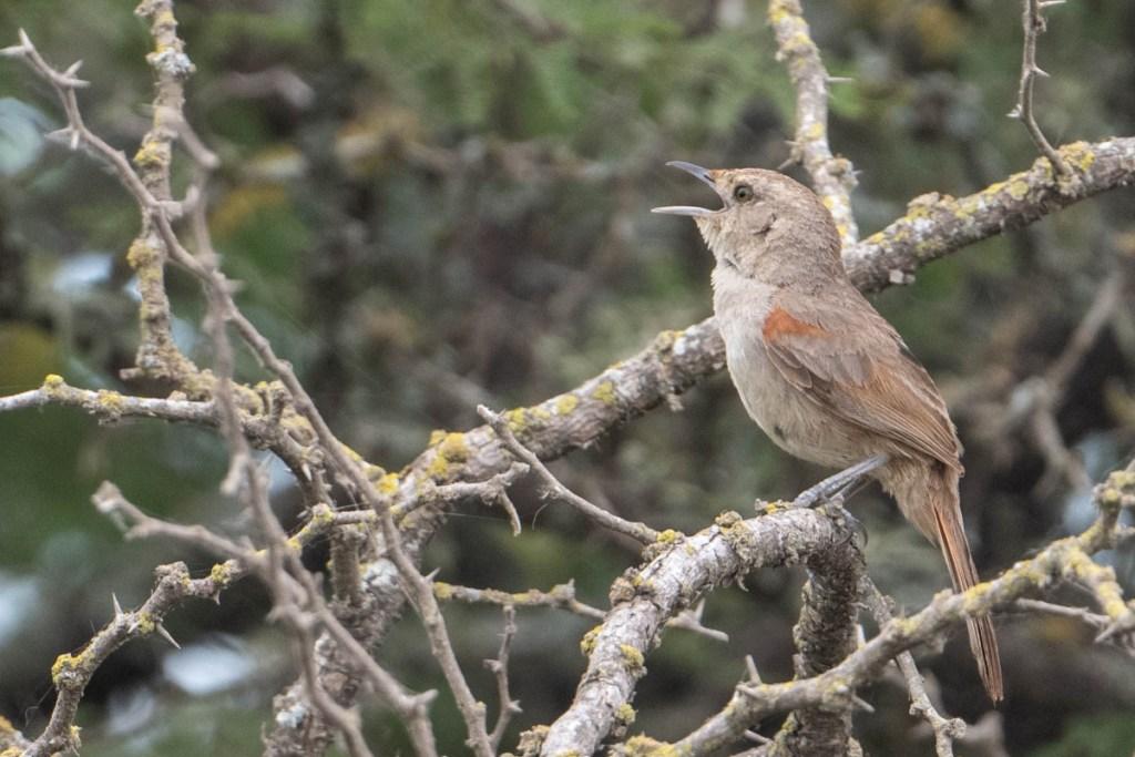 Little Thornbird singing on his large stick nest. November 2019.