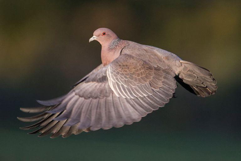 Picazuro Pigeon (ph: Jan van der Greef)